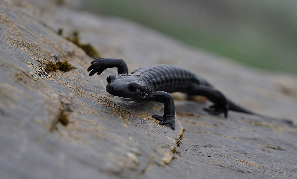 salamandre02