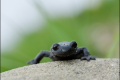 salamandre01
