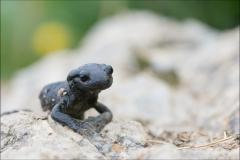 salamandrealpestre-2015-juillet