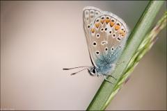 argus-bleu-avril-1