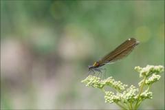 libellule-Calopteryx-eclatant-2017-juillet