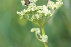 libellule-calopteryx-eclantant-femelle-2017-juillet