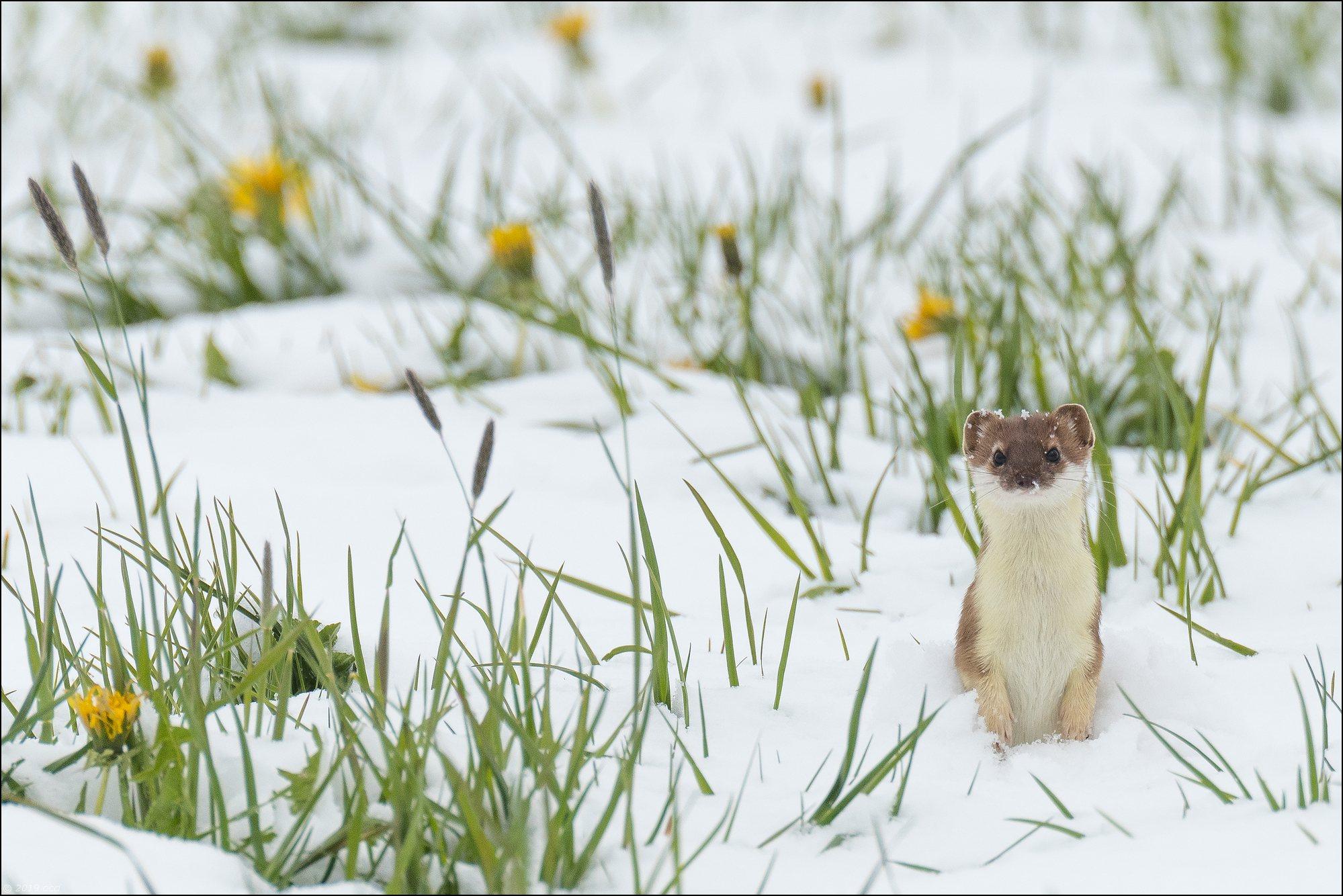 hermine-chute- de neige