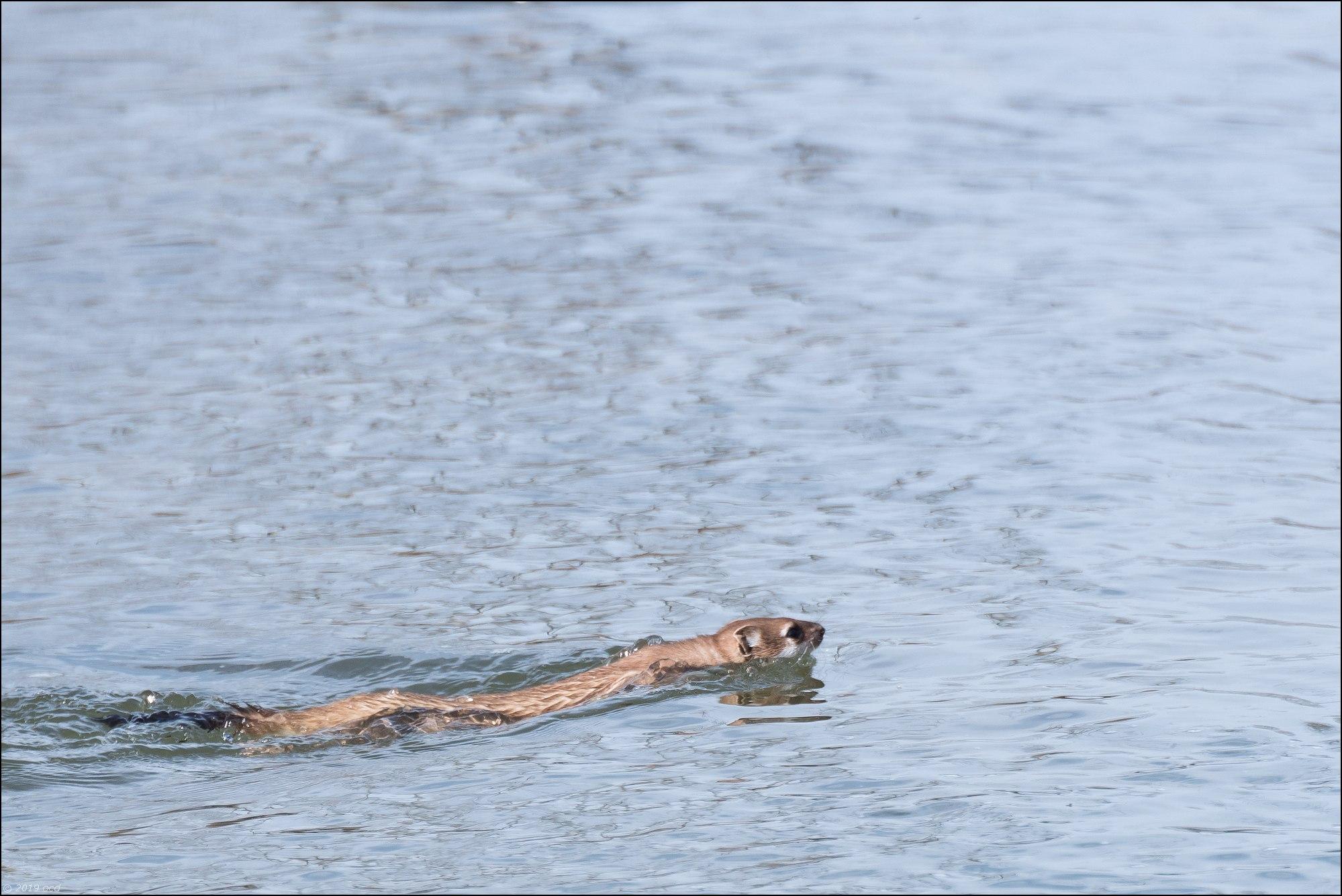hermine qui nage