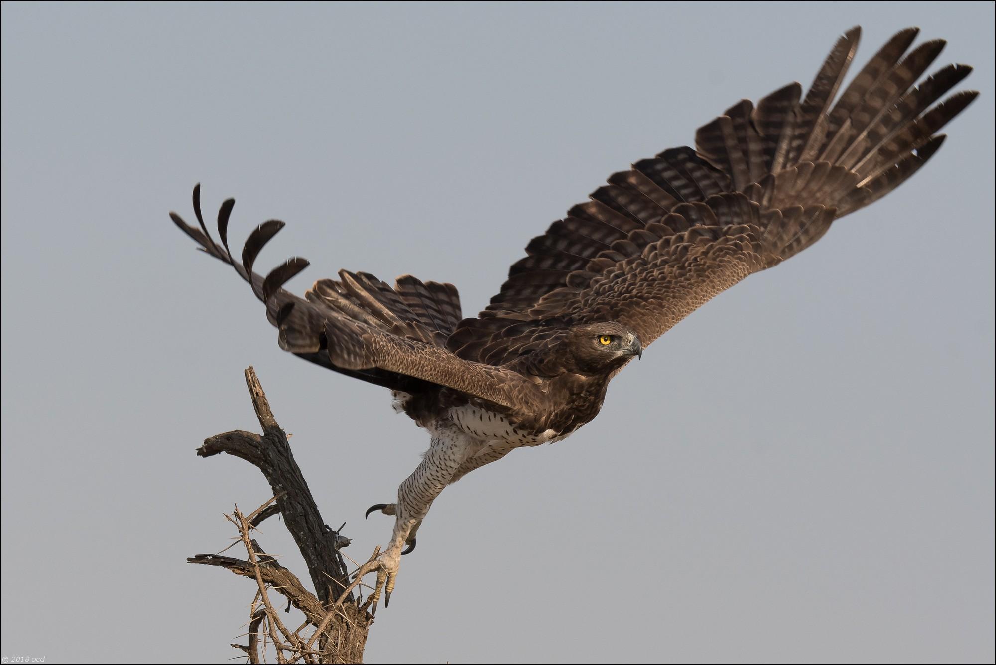 Aigle-martial-deux