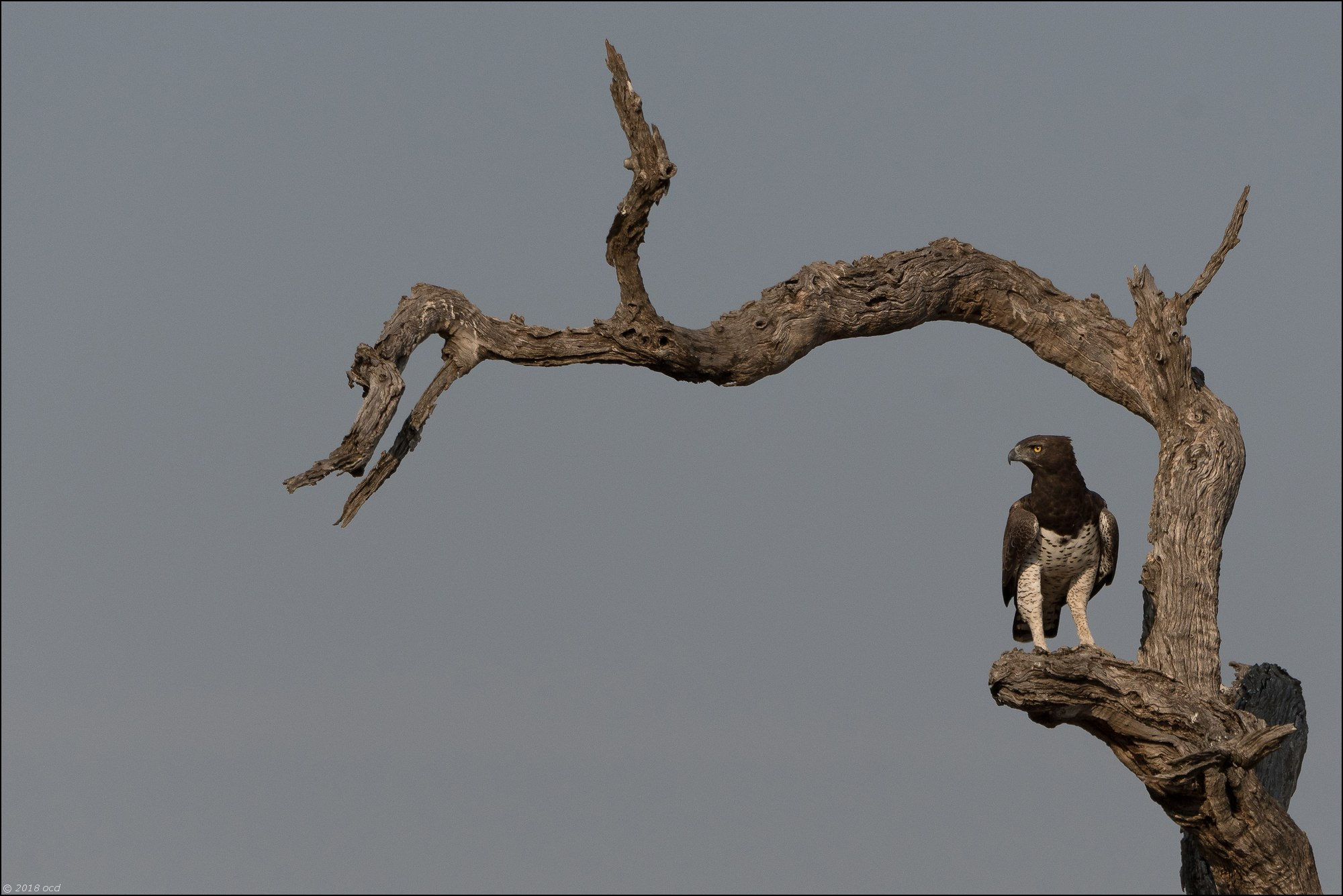 Aigle-martial-six