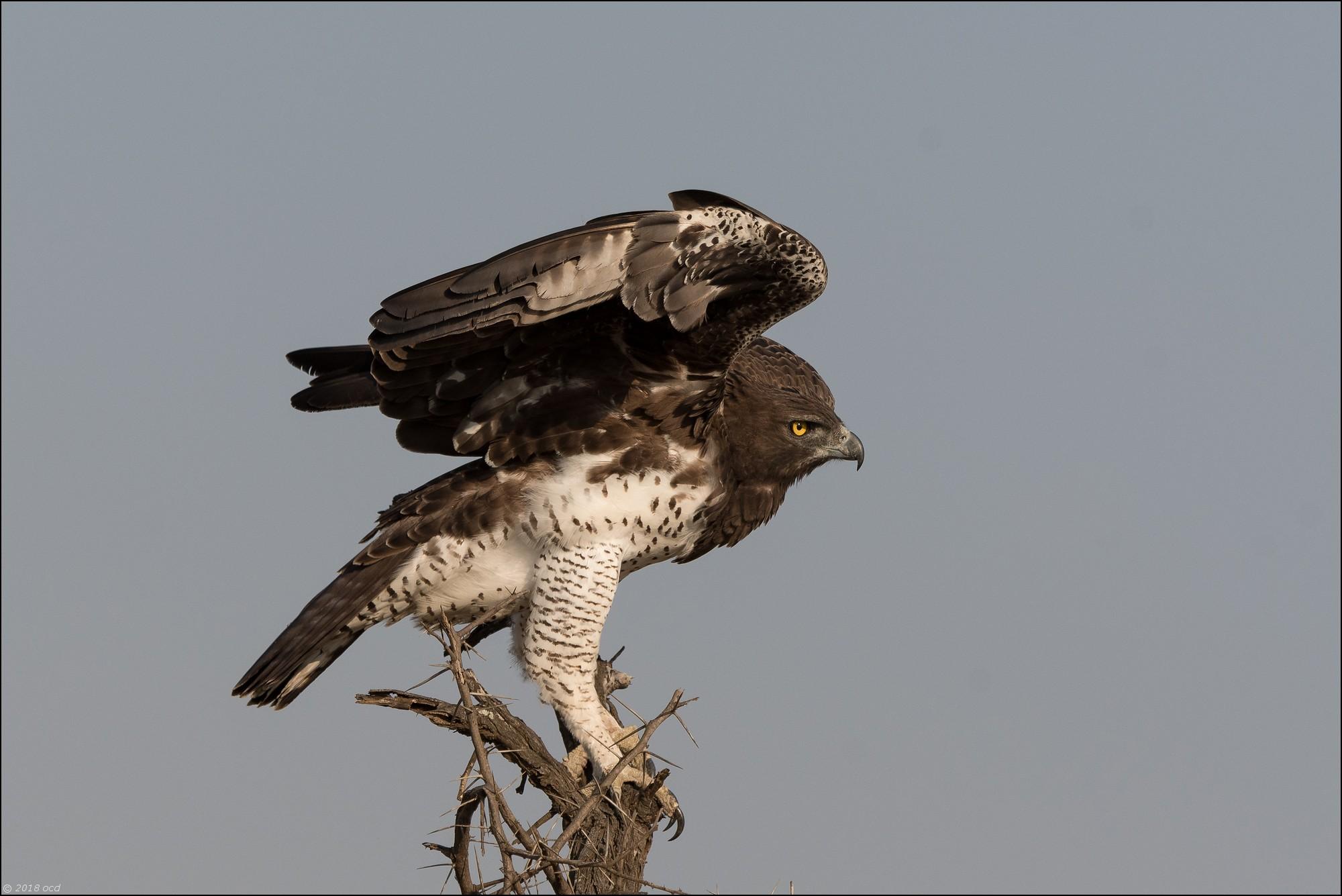 Aigle-martial-trois
