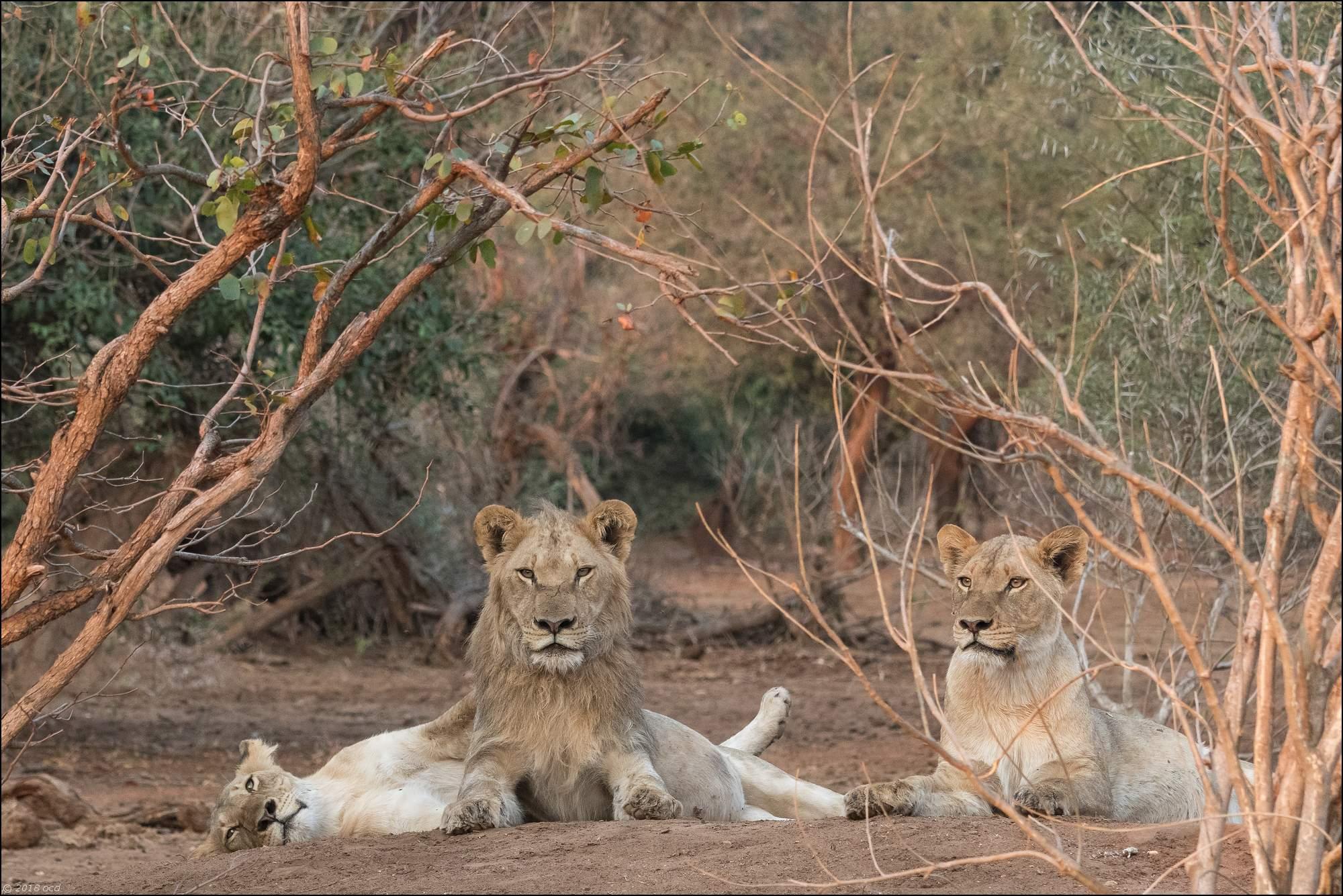 Famille-de-lions