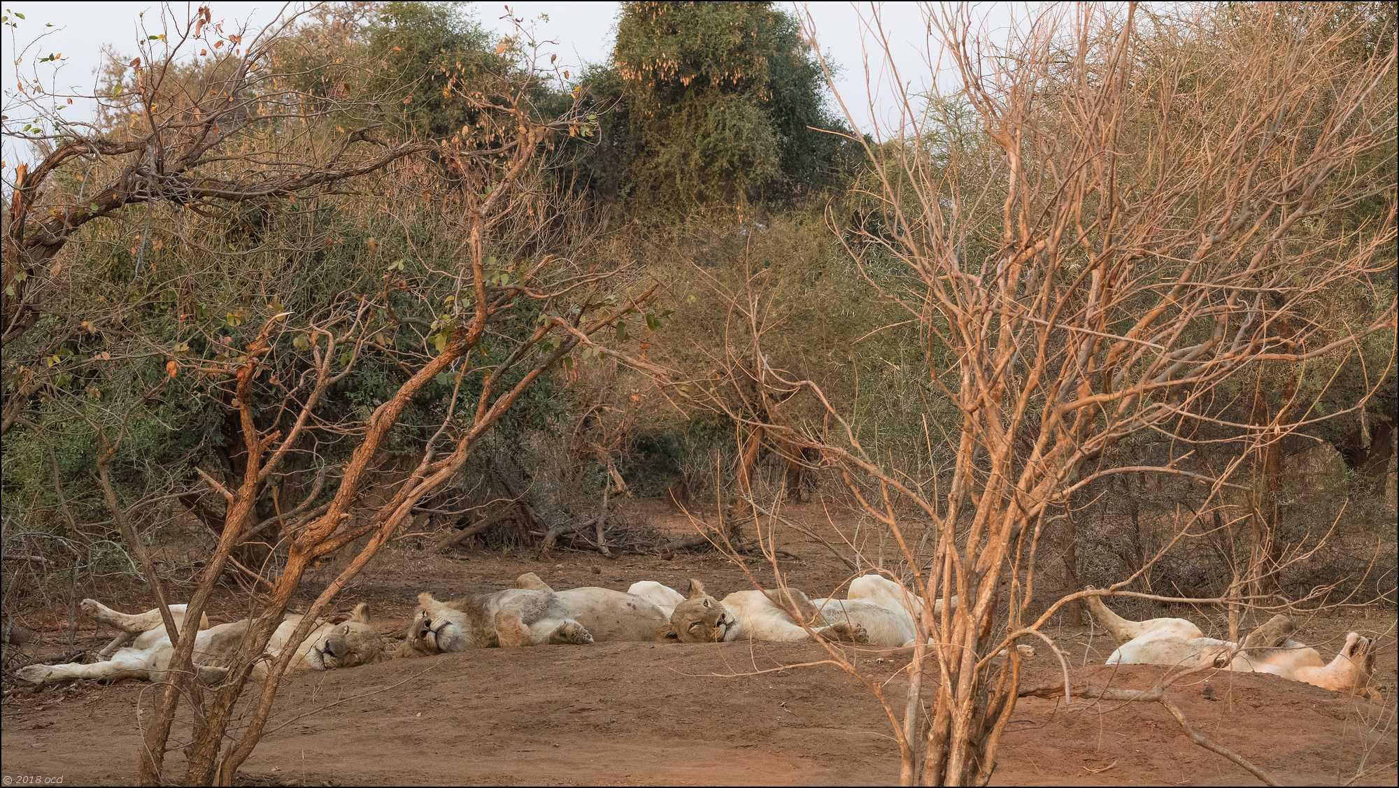 famille-de- lions