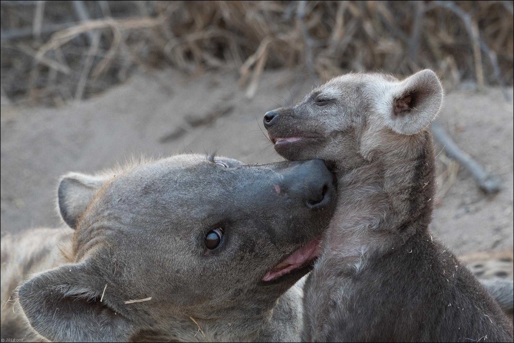 hyène-trois
