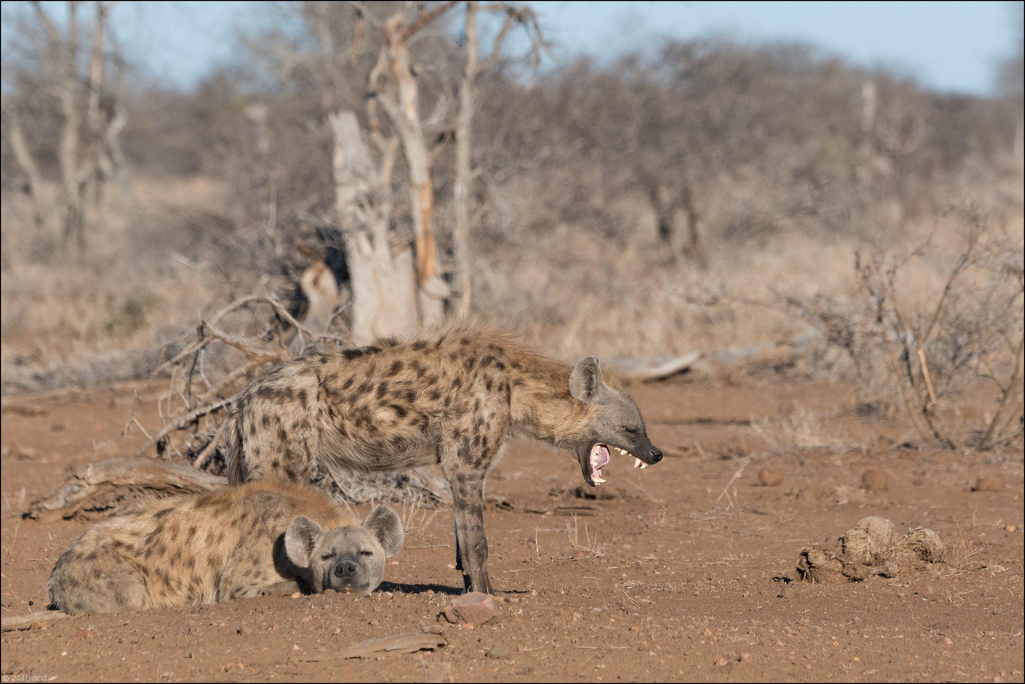 hyène-un