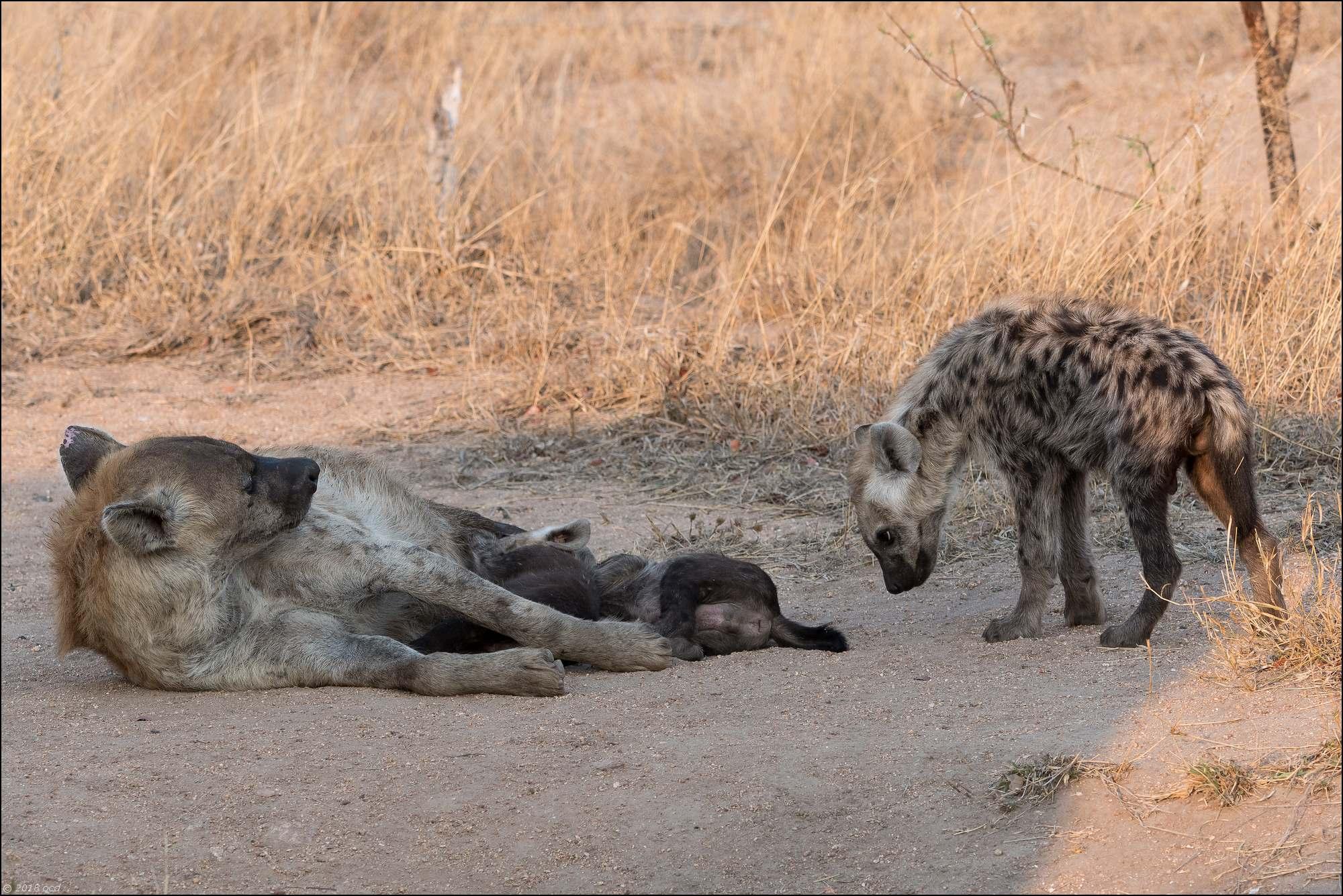 hyène.deux