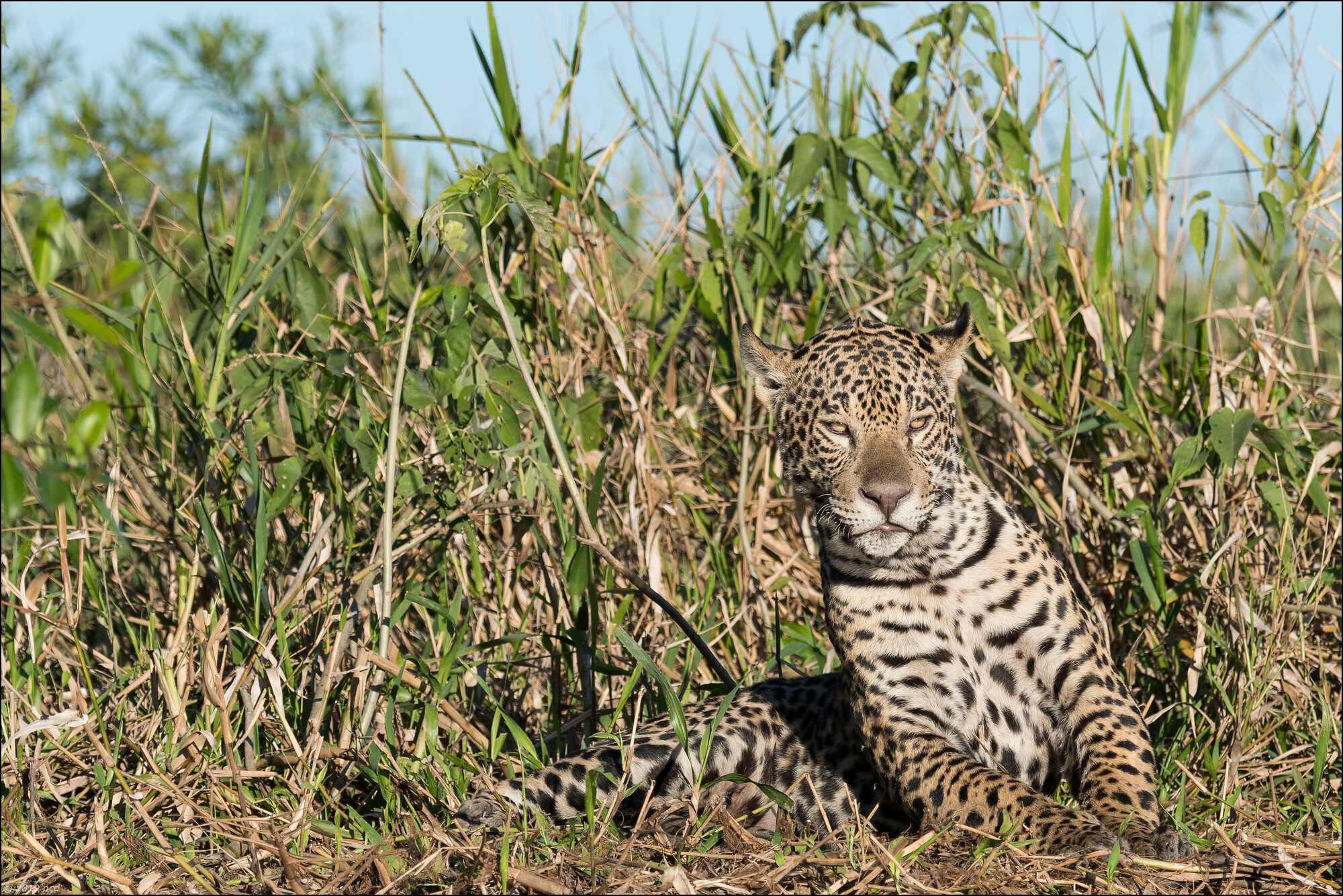 jaguar -11