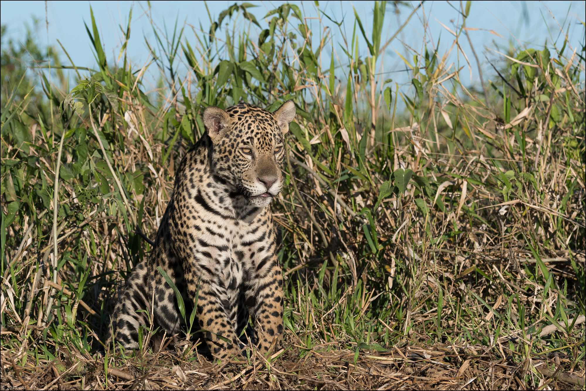 jaguar-13