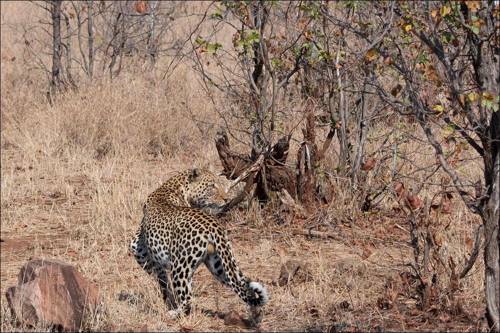 léopard-trois