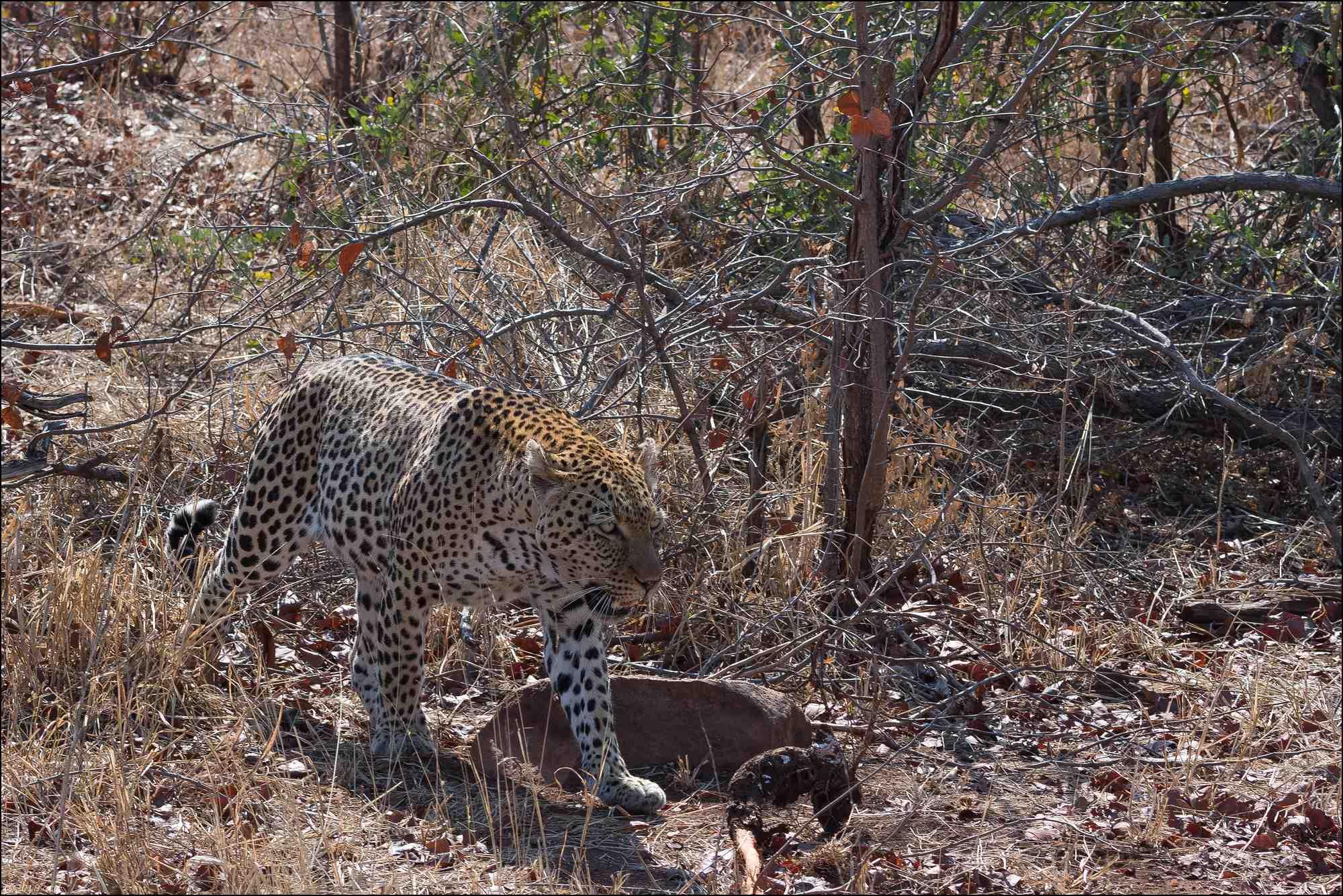 léopard-un