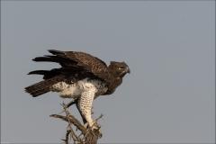 Aigle-martial-cinq