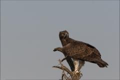 Aigle-martial-quatre