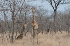 Girafes-deux