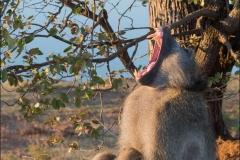 baboui-dominant