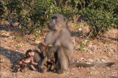 babouin-quatre