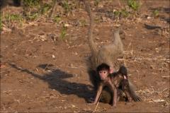babouin-trois