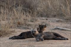 hyène-quatre