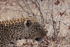 léopard-deux