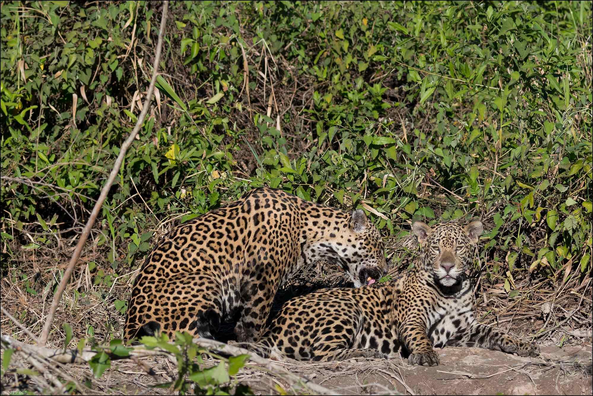 jaguar-10