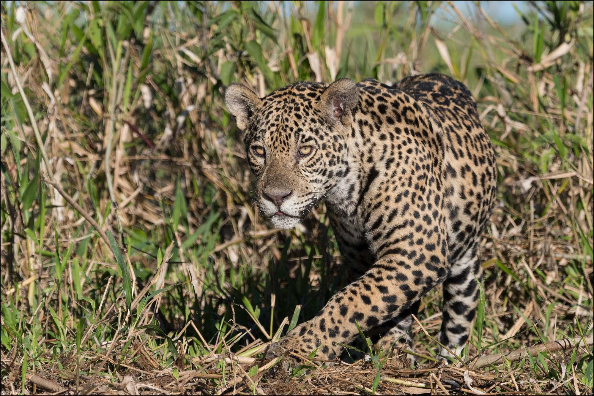 jaguar-12