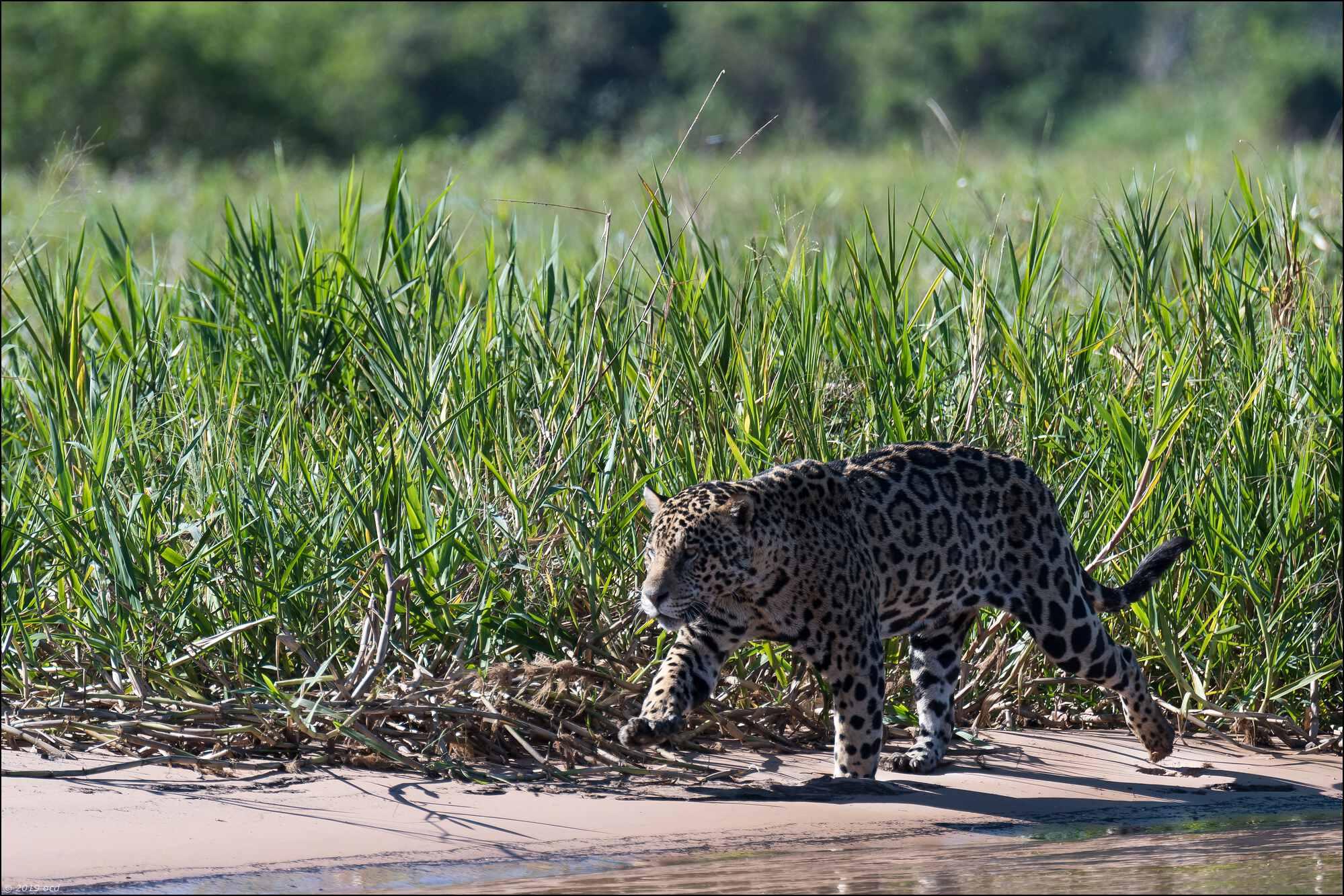 jaguar-deux