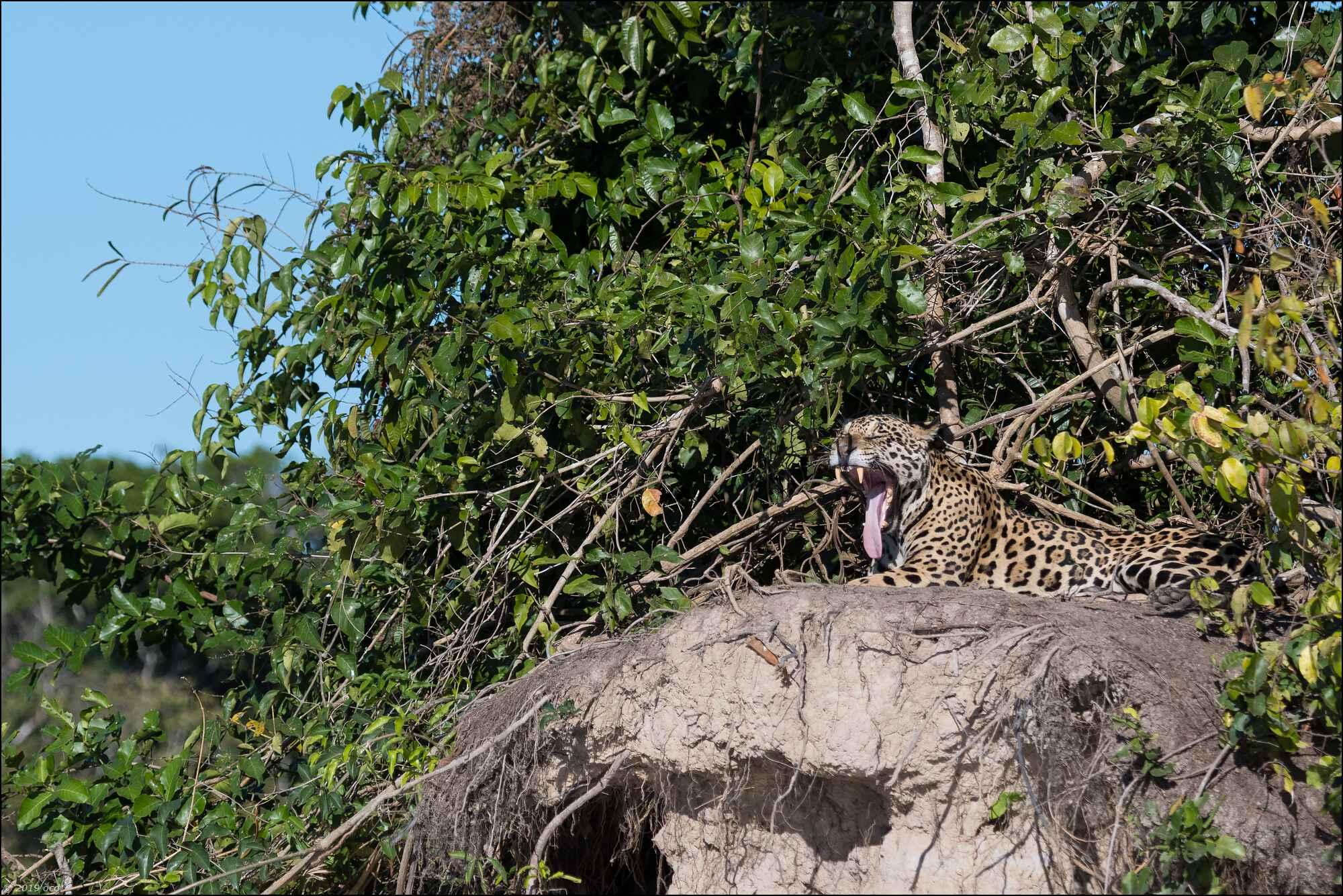 jaguar-matin-deux