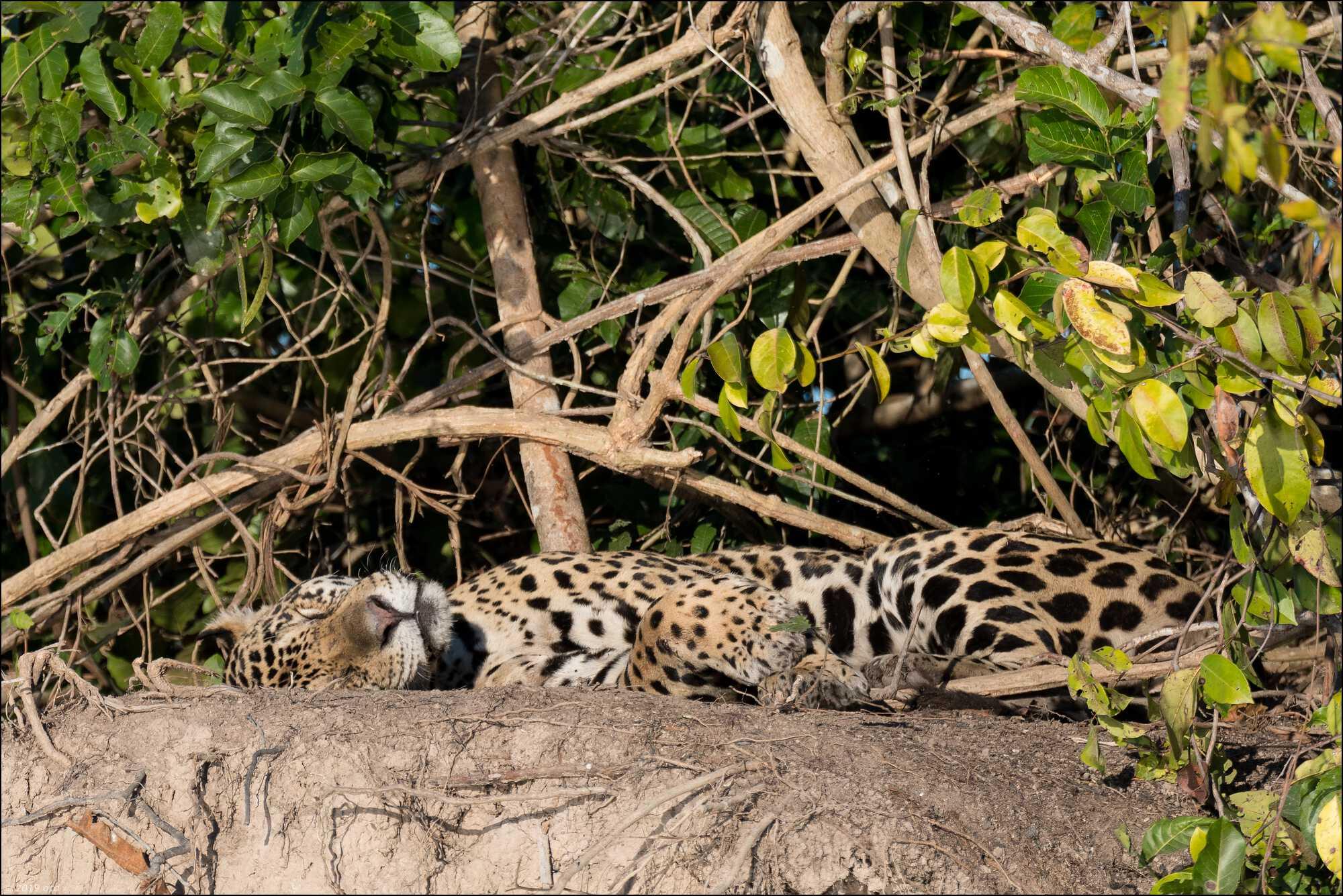 jaguar-matin-quatre