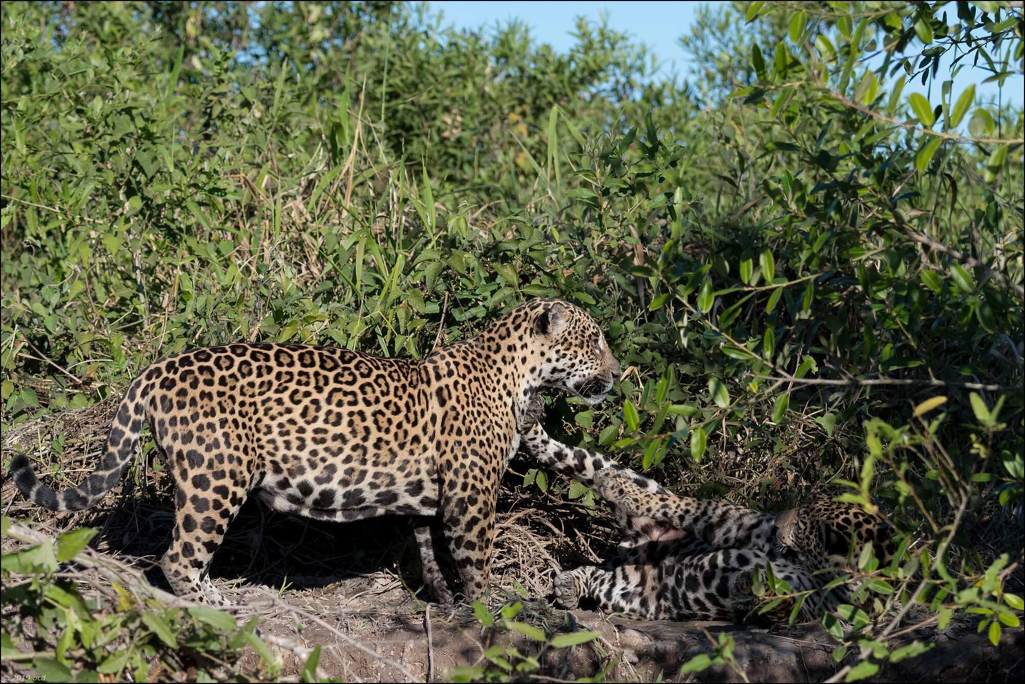 jaguar-mère-fils