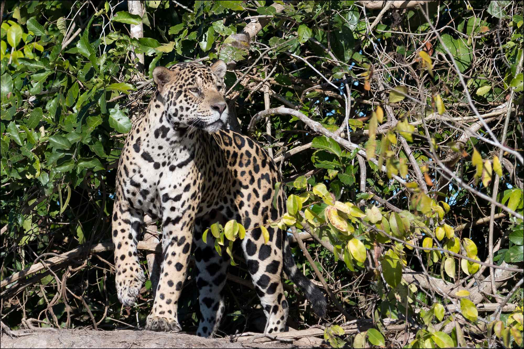 jaguar-quatorze