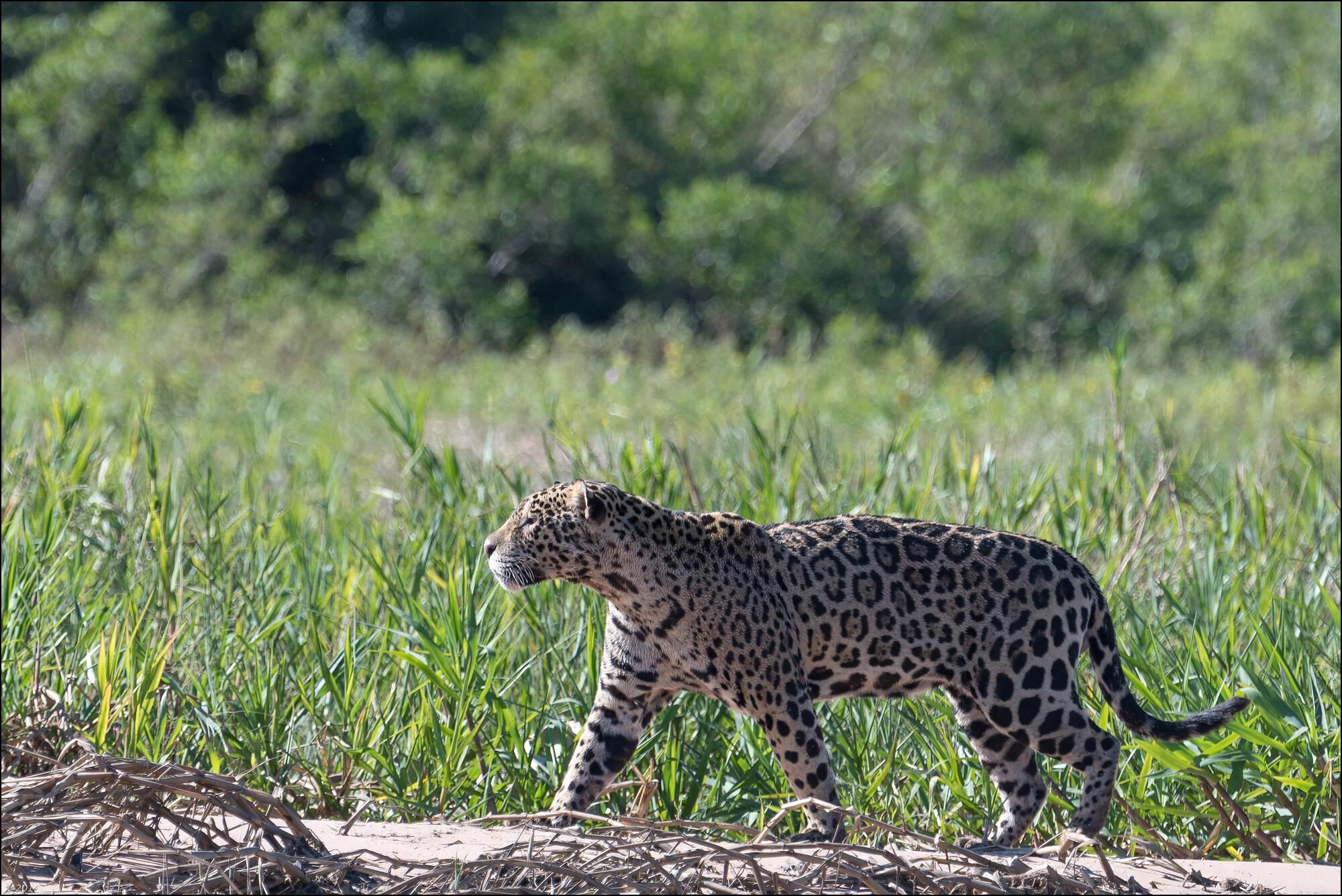 jaguar-trois-bis