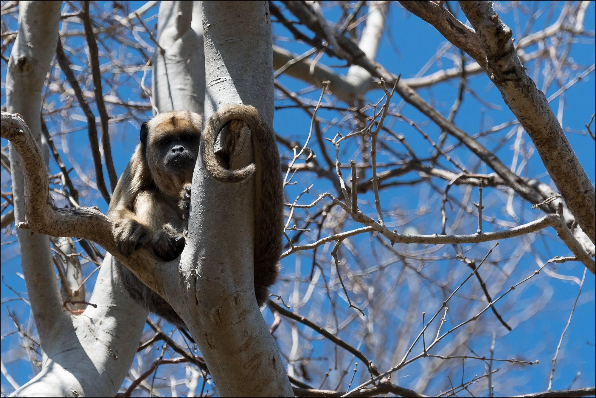 singe-hurleur-un