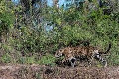 jaguar-19