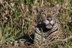 jaguar-fils