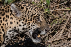 jaguar-maman