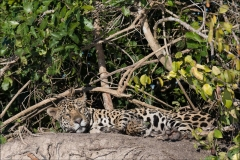 jaguar-matin-trois