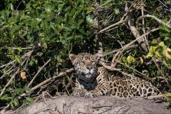 jaguar-matin-un