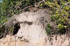jaguar-quinze