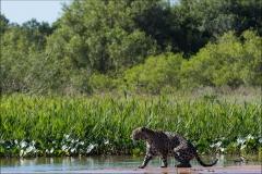 jaguar-trois
