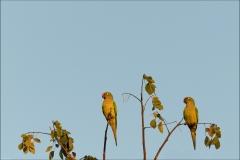 petit-perroquet