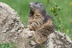 marmotte repos