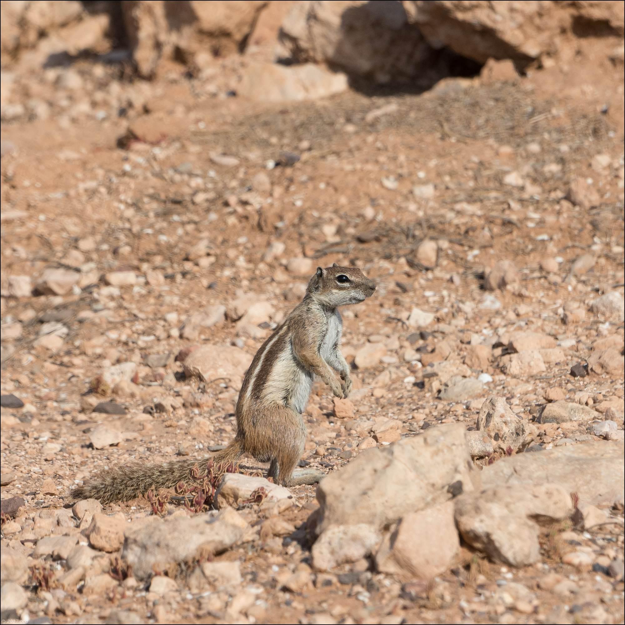 maroc-ecureil-quatre