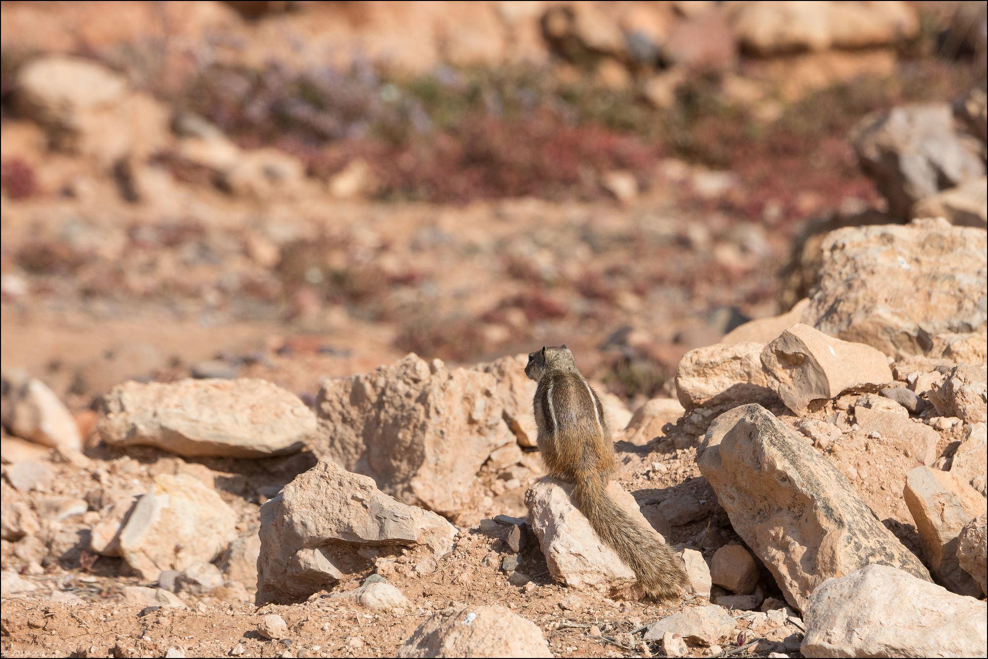 maroc-ecureil-six