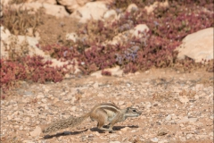 maroc-ecureil-trois