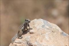 maroc-ecureil-un